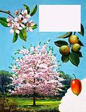 Crab-Apple Tree, flowers and fruit