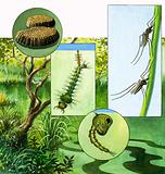 Lifecycle of the Mosquito
