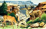 Mule deer at the Grand Canyon National Park