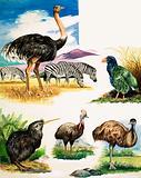 Ostrich, Kiwi, Cassowary, Emu and Takahe