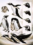 Looking at Nature: What are Spheniscidae? Penguins!