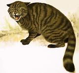 Rare Breeds: The Wildcat