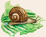 The Common Garden Snail