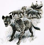 Hyenas feeding on a zebra carcas with vultures looking on