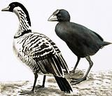 The Ne-Ne or Hawaiian Goose and Takahe bird