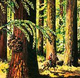 Redwood or Sequoias