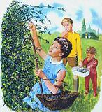 Picking blackberries, 1960s, England