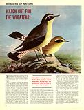 Wonders of Nature: Watch Out for the Wheatear