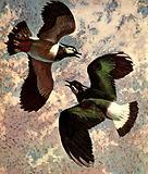 Acrobat of Birdland –  the Lapwing