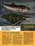 Creatures Around Our Coasts: Life in Estuaries