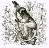 Propithece: Diadem Lemur
