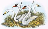 Heads of species of British Swans