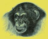 Head of chimpanzee