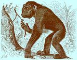 """The chimpanzee """"Mafuka"""""""