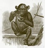 "The chimpanzee ""Sally"""