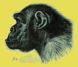 """Side view of chimpanzee """"Mafuka"""""""