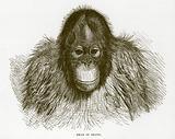 Head of orang
