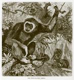 The white-handed gibbon