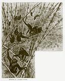 Hoolocks in a bamboo jungle
