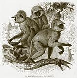 The hanuman monkey, or true langur