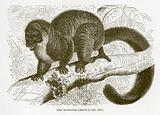 Mungoose lemur