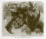 Greater horseshoe-bat