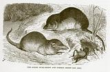 Spider musk-shrew and common shrew