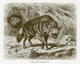 Aard-wolf