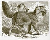 Siberian wild dog