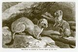 Stoat or ermine in winter dress