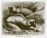 White backed skunk