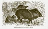 Collared peccary and young.