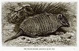 The Weasel-Headed Armadillo