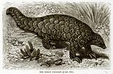 The Indian Pangolin