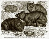 Tasmanian Wombat (on the left) and Hairy-Nosed Wombat (on the right)
