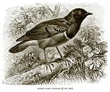 Superb Glossy Starling