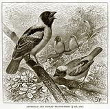 Abyssinian and Masked Weaver-Birds