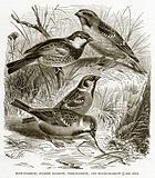 Rock-Sparrow, Spanish Sparrow, Tree-Sparrow, and House-Sparrow