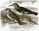 The African Finch-Lark and Desert-Lark