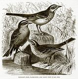 Richard's Pipit, Water-Pipit, and Tawny Pipit