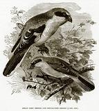 Great Grey Shrike and Red-Backed Shrike