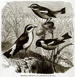 Wheatear, Whinchar, and Stonechat