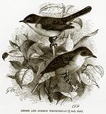 Lesser and Common Whitethroat