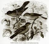 Barred Warbler, Garden Warbler, and Blackcap