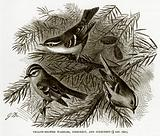 Yellow-Browed Warbler, Firecrest, and Goldcrest
