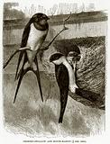 Chimney-Swallow and House-Martin