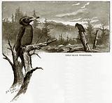 Great Black Woodpecker