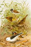 Buntings (Reed, Yellow, Common, Lapland Snow)