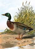 Wild duck or Mallard