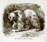 Syrian Bear or Dubb